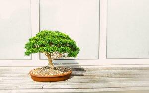 a developers bonsai